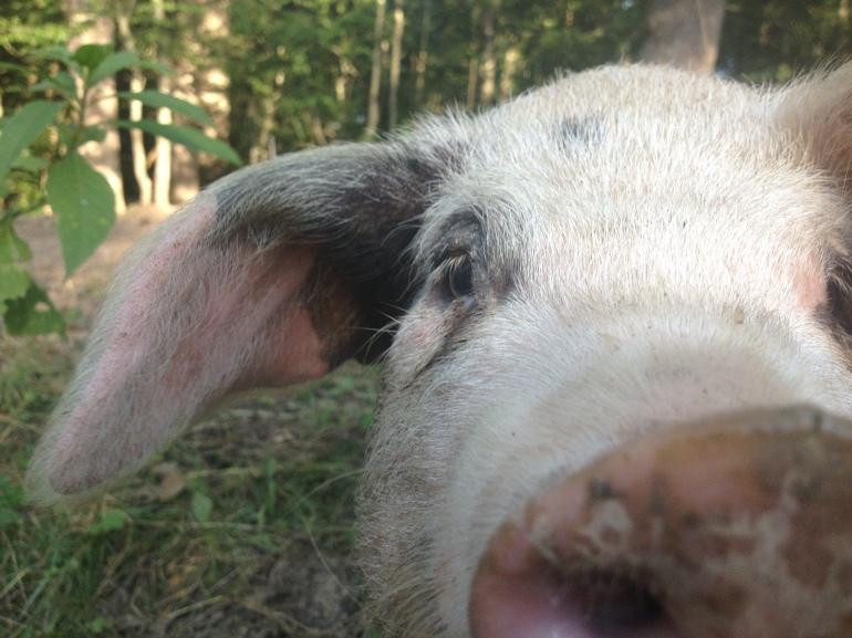 GOS piglet close-up
