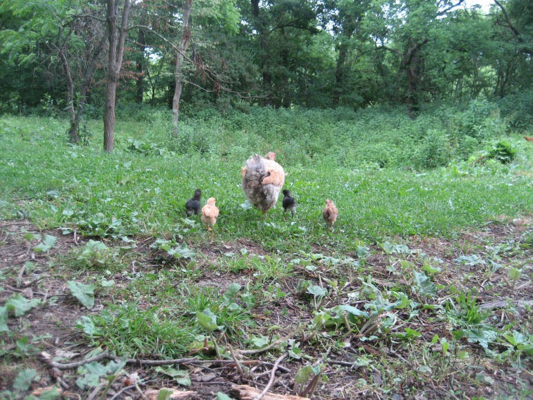 Buff Brahma mama hen with her chicks in tow, headed for pasture