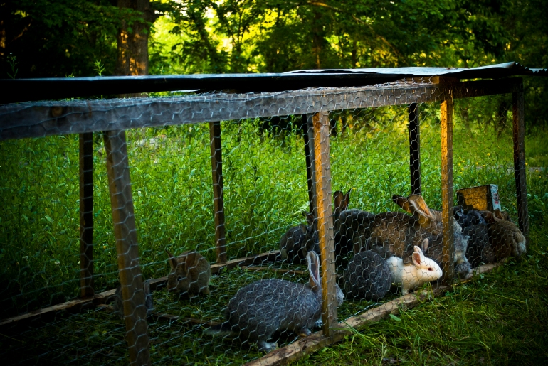 Giant Chinchilla rabbits in their field house on VVR pasture